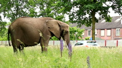 elephant eating grass at road bank in urban setting walking loose - stock footage