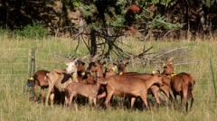 Close-up of a Small herd of goats in the fenced. Stock Footage