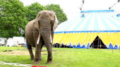 elephant in captivity standing outside of circus tent - stock footage