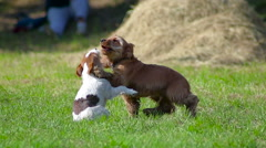 two puppies playing - stock footage