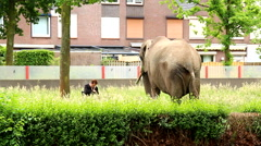 Man walking his elephant in road bank while playing patience on tablet - stock footage