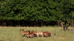 Small herd of goats in the fenced. Stock Footage