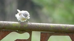 Bird Lesser whitethroat (Sylvia curruca) moves and looks around. Stock Footage