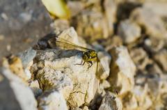 Big yellow dragonfly Stock Photos