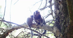 Wied's marmoset. Monkey, baby. Forest Stock Footage