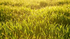 Green grass and morning dew. RAW video record Stock Footage