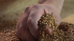 Overworked farmer's hand touching the wheat grain, product quality, agriculture Stock Footage