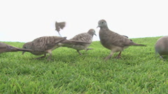 Zebra Doves And Finch Feeding Close Up Stock Footage