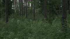 Tracking shot inside the green lush forest. FOR COLOUR GRADING. Stock Footage