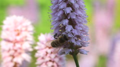 Honeybees by knotweed Stock Footage