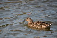 Wild duck or Anas platyrhynchos Stock Photos