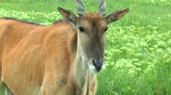 Close-up of head eland Stock Footage