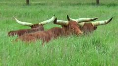 Ankole-Watusi Lying in grass. Visible big horns Stock Footage