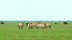 Przewalski's horses in the steppe. In the background you can see the bison Stock Footage
