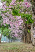 Pink flower tree tunnel of Tabebuia or trumpet tree Stock Photos