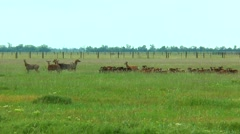 Flock of sheep and young deer Stock Footage