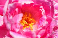 Pink Peony (Paeonia) Flower - stock photo
