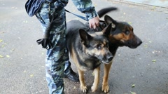 Canine handler in form of khaki holding two German Shepherds Stock Footage