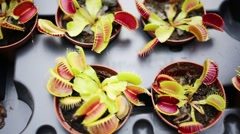 Close up of row small pots Venus flytrap with spiked head. Stock Footage
