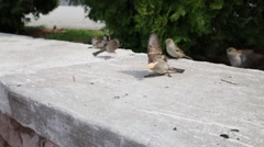 Sparrow on concrete fence throwing pieces of food close up. Stock Footage