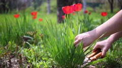 Female hands cutting off with scissors two poppy flowers close up. Stock Footage