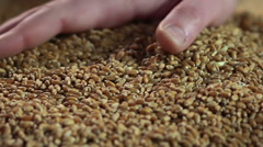 Demonstration of wheat grain, seller presenting good quality collected crop Stock Footage