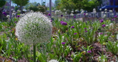 Beautiful Purple and White Allium circular globe shaped flowers blow in the wind Stock Footage