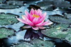 Beautiful purple water lily in the garden pond, cool blue photo filter - stock photo