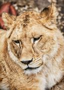Barbary lioness portrait - Panthera leo leo, critically endangered species Stock Photos