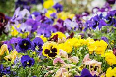 Mixed pansies in the garden, beauty in nature - stock photo