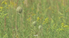 Weed swept by a summer breeze - stock footage
