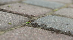 Chain of ants, moves on the pavement - stock footage