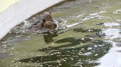 Capybaras playing in the water Stock Footage