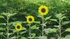 Sunflowers sway in a gentle breeze Stock Footage