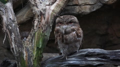Papuan frogmouth Stock Footage