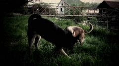 1970's styled clip - TWO DOGS PLAYING Stock Footage