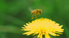 bee collects pollen from a dandelion - stock footage