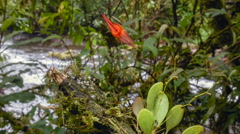 Micro-Orchid (Lepanthes pastoensis) flowering in Andean cloudforest Stock Footage
