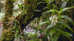 Orchid (Epidendrum sp.) flowering in Andean cloudforest Stock Footage