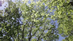 Three Tureky Buzzards fly over tree canopy Stock Footage