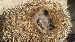 4k European Hedgehog (Erinaceus europaeus) curled up in a ball scared close up Stock Footage