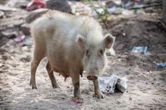 Pig on contaminated sand. Southeast Asia - stock photo