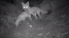 Red Fox mother and pup Stock Footage