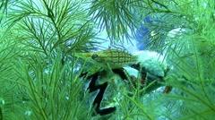 Longnose hawkfish - oxycirrhites typus Stock Footage