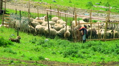 Boy closes the sheep into the fenced area on the mountain village Stock Footage