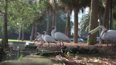 White Ibis birds on lake shore Stock Footage
