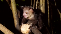 Aye-Aye in tree at night gnaws out coconut, close-up Stock Footage