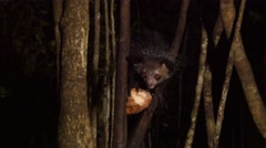 Aye-Aye in tree at night scrapes out coconut using long finger, close - stock footage