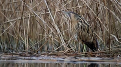Eurasian bittern in the reed. Stock Footage
