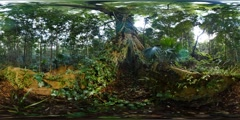 360VR Old growth fig tree in rainforest nature virtual reality VR Stock Footage